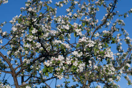 Apple tree branches spring with green leaves and white and pink flowers against the blue sky. Stok Fotoğraf - 144901813