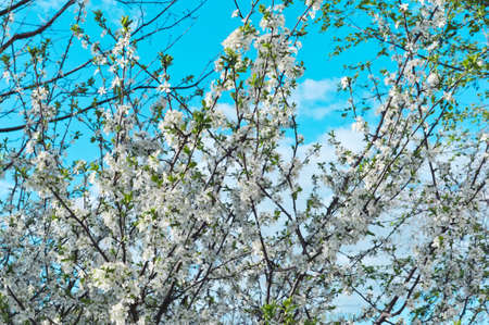 Spring cherry blossoms against a blue sky and clouds of selective focus Stok Fotoğraf - 147017908