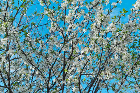 Spring flowering cherry against the background of a gentle blue sky selective focus Stok Fotoğraf