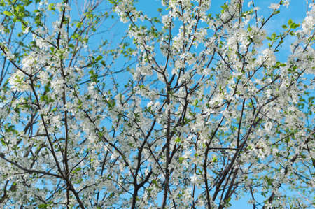 Spring flowering cherry against the background of a gentle blue sky selective focus Stok Fotoğraf - 147017577