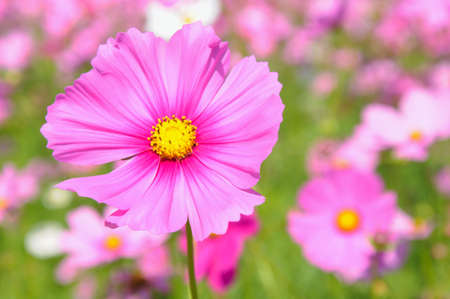A background of purple pink cosmos flower which the leaves stock a background of purple pink cosmos flower which the leaves are arrange in opposite pairs mightylinksfo Image collections
