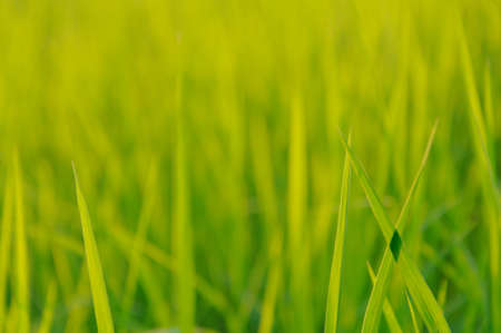Young Rice field growing in rainy season with fresh green leaf at northern part of THAILAND which is an organic asian rice farm and agriculture.The photo has space for text and green color background.