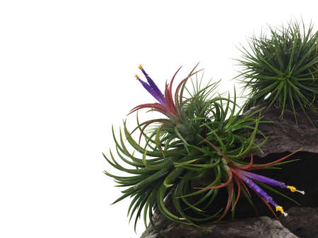 Tillandsia or Air plant which is a common name for plants in this genus. Tillandsia normally grows without soil while attached to other plants.This photo has free space for text with white background.