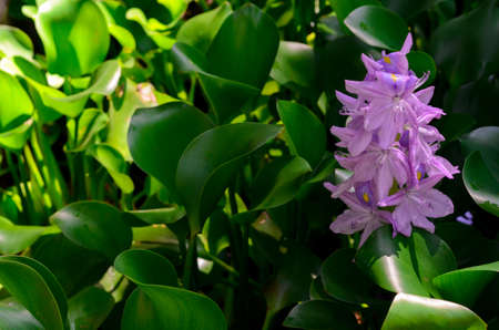Fresh purple flower of Water Hyacinth tree (or Floating water hyacinth, Java Weed) with sun shining on green leaves.