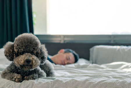 An adorable young black Poodle dog lay on on bed waiting the owner to wake up in the morning with sunshine on messy bed.