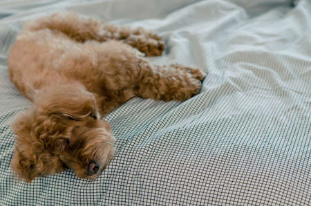 An adorable young brown Poodle dog sleeping alone on the messy bed.