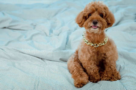 An adorable young brown Poodle dog wearing golden necklace and sitting on messy bed.