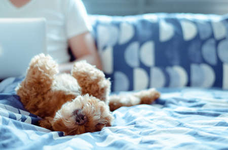 An adorable brown Poodle dog lay on bed and enjoy his happiness with the owner who is working after wake up in the morning. Imagens