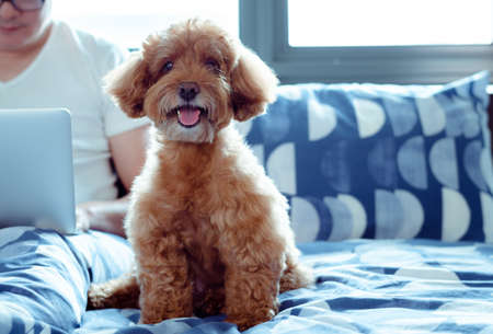 An adorable brown Poodle dog looking at camera when enjoy and happy with the owner who is working on bed after wake up in the morning.