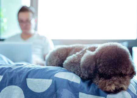 An adorable black Poodle dog lay on bed and waiting to play with the owner who is working after wake up in the morning.