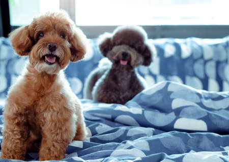 An adorable happy brown and black Poodle dog smiling and sitting on messy bed after wake up with the owner in the morning.