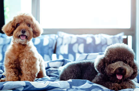 An adorable happy brown and black Poodle dog smiling and relaxing on messy bed after wake up with the owner in the morning. Stok Fotoğraf