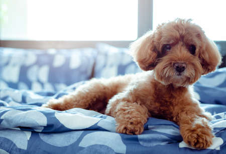 An adorable brown Poodle dog relaxing with himself after wake up in the morning with sunshine on messy bed.