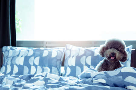 An adorable young black Poodle dog playing alone and hiding in blanket after wake up in the morning with sunshine on messy bed. Imagens