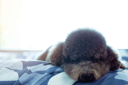 An adorable young black Poodle dog lay on bed alone with sadly face after wake up in the morning with sunshine on messy bed.