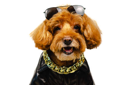 An adorable smiling brown toy Poodle dog with sunglasses on his head, golden necklace and dressing with leather jacket for travel concept.
