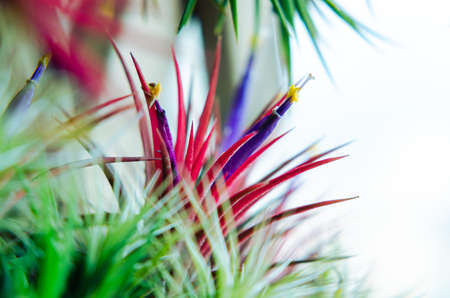 Tillandsia or Air plant which is grows without soil attached with the wood with its colorful flowers.