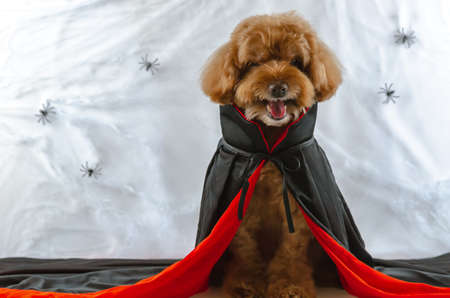 Adorable brown Poodle dog made scary face with Dracula dress sitting at spiders cobweb background. Dog costume for Halloween concept. 스톡 콘텐츠