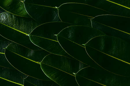 Fresh green Rubber tree leaves for background photo concept.