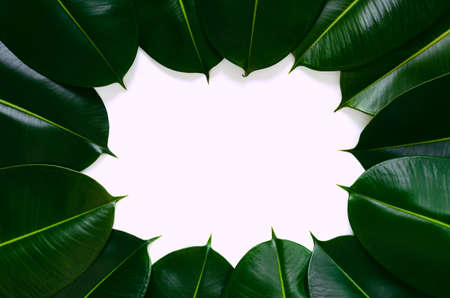 Green Rubber tree leaves on white space in the middle for background photo concept.