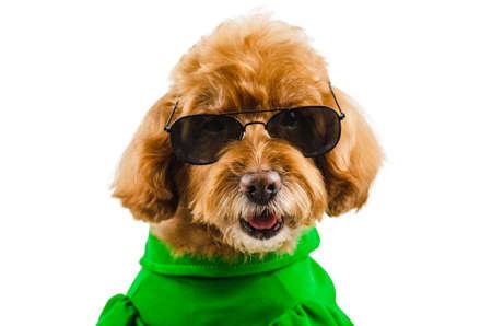 Ein entzückender brauner Pudelhund, der grünes Freizeitkleid mit Sonnenbrille für die Sommersaison trägt, isoliert auf weißem Hintergrund.