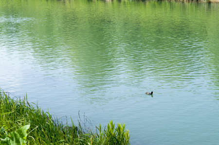 natures: Duck in the river