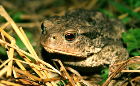 Toad in the straw macro Stock Photo