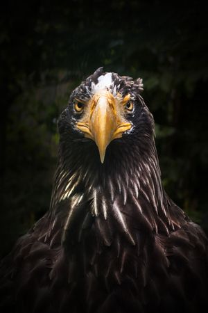 Predator eagle in full face. Self-confidence and purposefulness. Singleness and ready for war Stock Photo