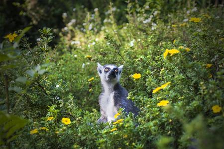 Lemur in flower field. Monkey sits among green