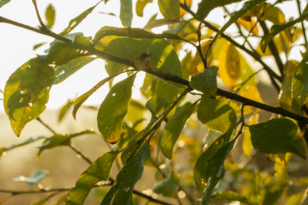 Green leaves in yellow light. Tree texture background 스톡 콘텐츠