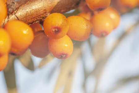 Sea berry on branch for background 스톡 콘텐츠