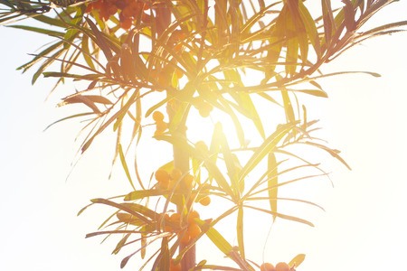 Tropical tree shape in bright sun light. Seaberry bush. 스톡 콘텐츠