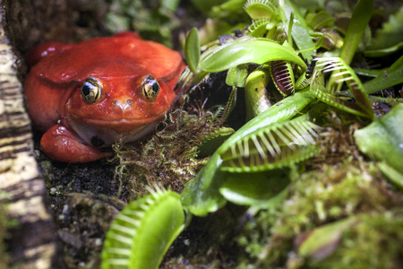 Flytrap area. Red frog in carnivorous plants hunt on insects. Dangerous nature background.