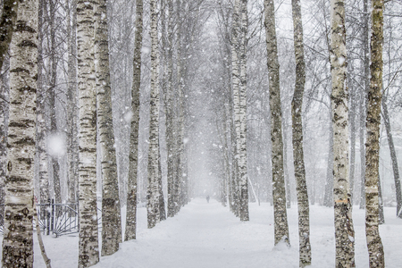 Birch trees path in the park during heavy snow. Cold winter walking