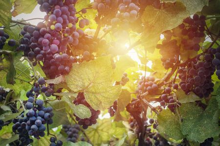 Vineyard in sun light close up. Grapes are ready for wine 스톡 콘텐츠