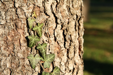 Ivy climbing on the bark of pine trees.