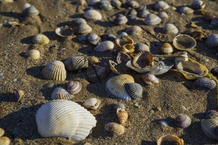 Barnacles lie on the sandy beach