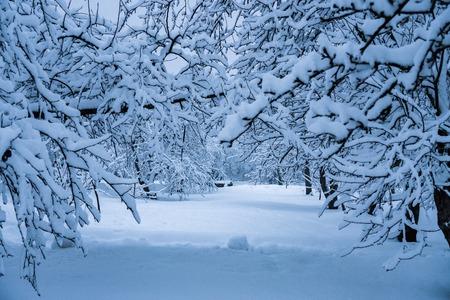 Die Bäume im Park sind nach dem Schneefall komplett mit Schnee bedeckt. Standard-Bild
