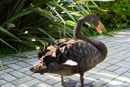Black Swan and Cub Reklamní fotografie - 122315414