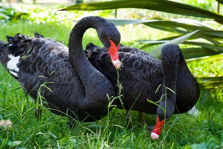 Black Swan and Cub Reklamní fotografie - 122315416