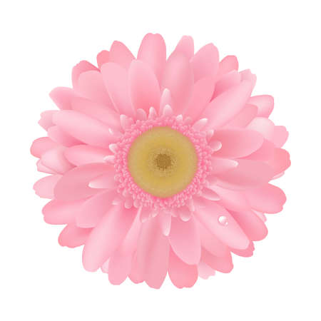 gerber: Pink Gerbera, Isolated On White Background Illustration