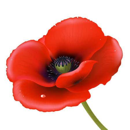 opium: Red Poppy, Isolated On White Background Illustration