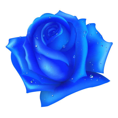 rosebud: Blue Rose, Isolated On White Background