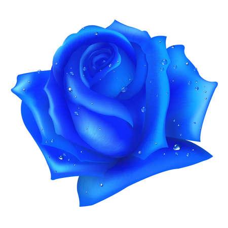 terciopelo azul: Rosa azul, aislada sobre fondo blanco
