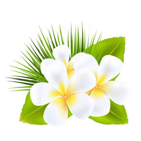 jasmine flower: Frangipani, Isolated On White Background, Vector Illustration