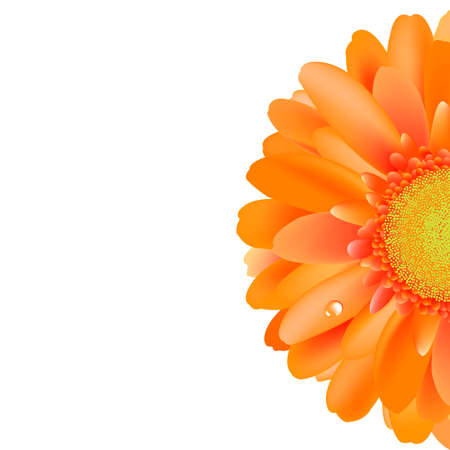 gerber: Orange Gerber With Water Drop, Isolated On White Background. Illustration