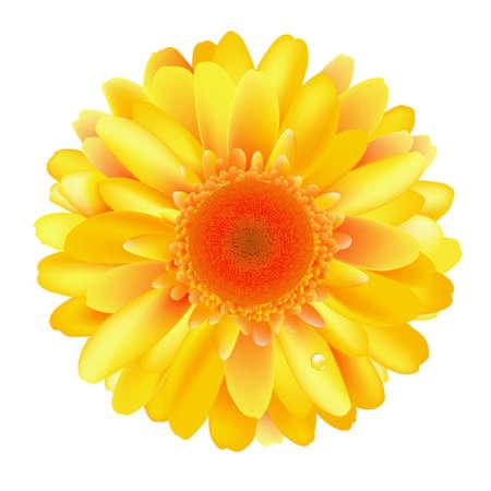 Gele Gerber, Geà ¯ soleerd Op Witte Achtergrond, Vector Illustratie