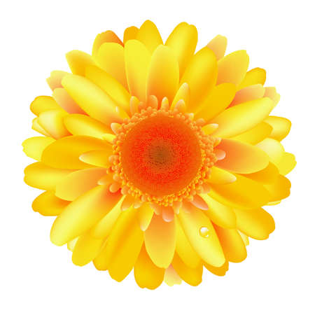gerber flowers: Yellow Gerber, Isolated On White Background, Vector Illustration