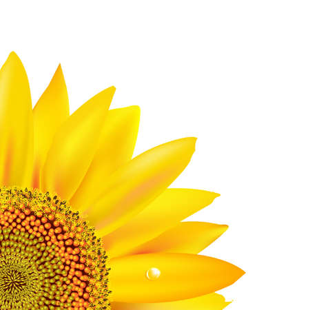 sunflower isolated: Sunflower, Isolated On White Background, Vector Illustration