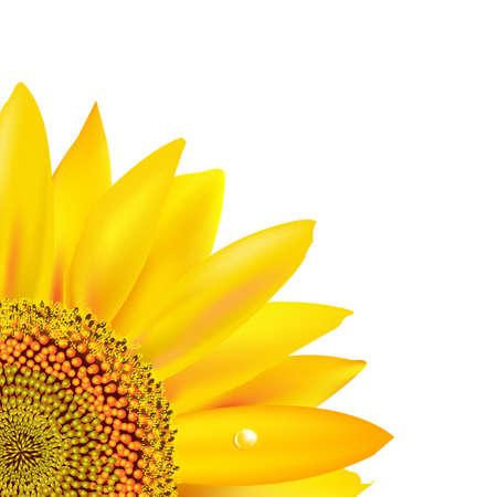 stamen wasp: Sunflower, Isolated On White Background, Vector Illustration